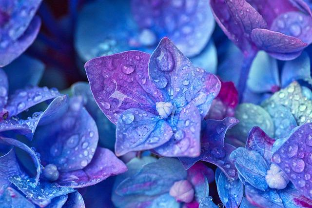 Hydrangea, Flowers, Close Up, Hydrangea Flower