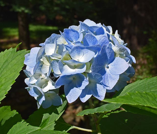 Nice Blue Hydrangea, Hydrangea, Blossoms, Flower, Bloom