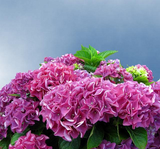 Hydrangea, Pink, Hydrangea Flower, Flowers