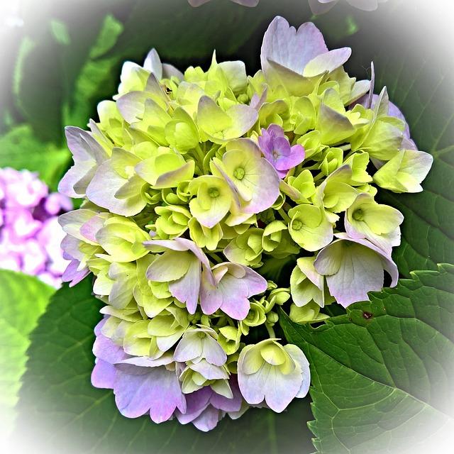 Plant, Hydrangea, Flower Umbel, Violet