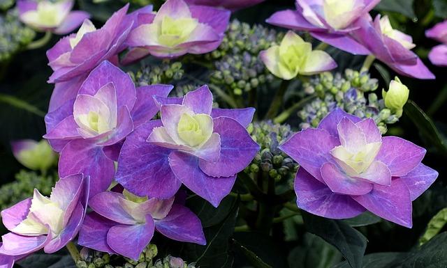 Hydrangea, Flower, Blossom, Bloom, Summer, Violet