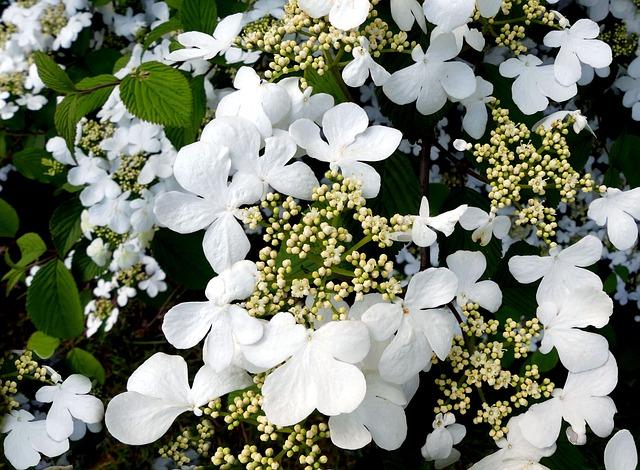Hydrangea, White, White Flowers, Hydrangea Flower