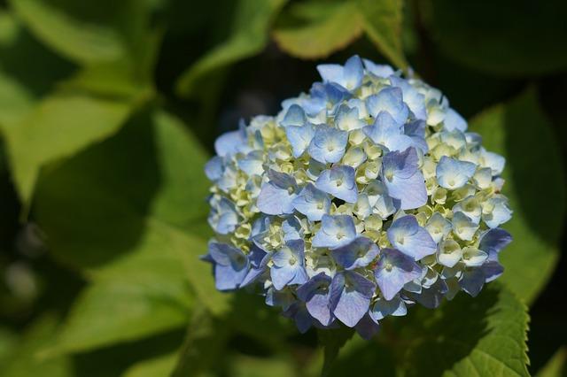 Hydrangea, Flowers, Flower, Plants