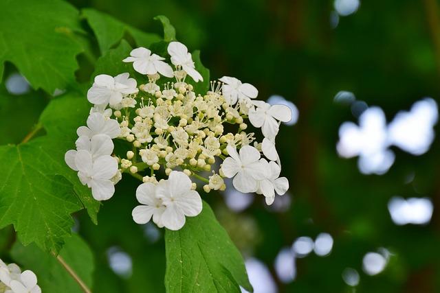 Hydrangea, Hydrangea-white Dome, Ornamental Plant