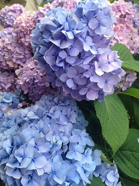 Hydrangea, June