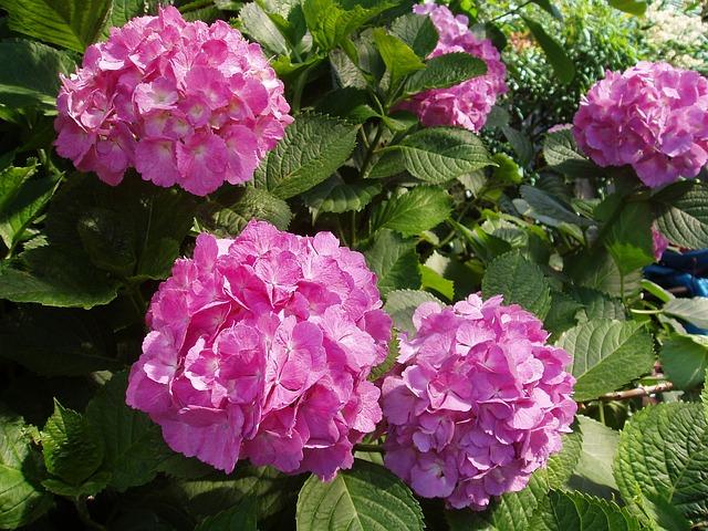 Hydrangea, June, Flower, Japan Flower, Natural, Flowers