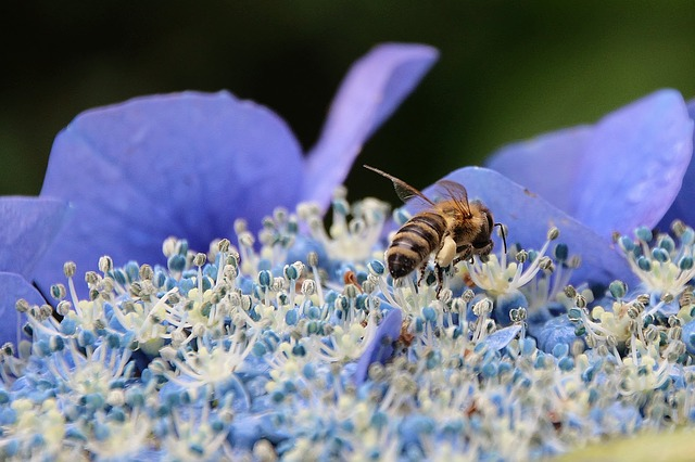 Flower, Hydrangea, Bee, Garden, Blue, Nature, Summer