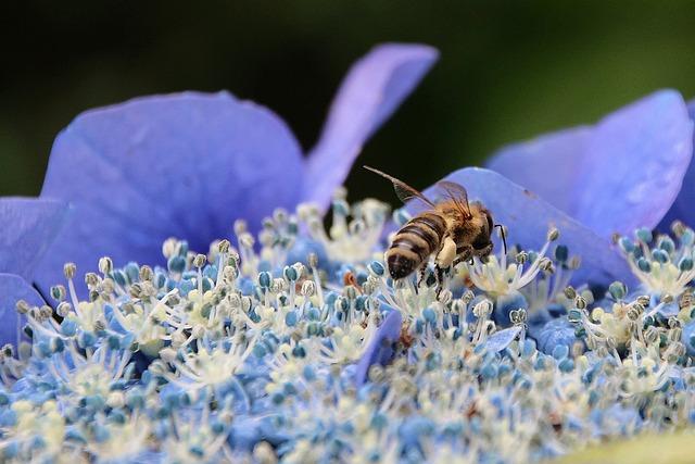 Flower, Hydrangea, Bee, Garden, Blue, Nature, Summer