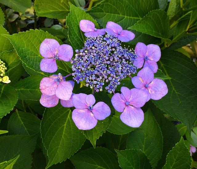 Hydrangea, Flowers, Purple, Pink, Pastel, Green, Leaf
