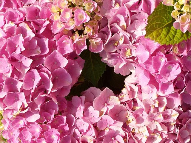 Hydrangea, Pink Flower Garden, Summer Flower