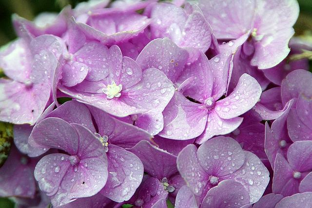 Hydrangeas, Hydrangea, Genus, Hydrangea Plants