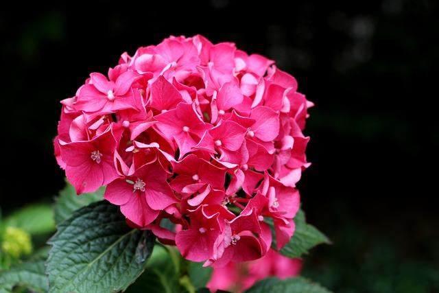 Hydrangea, Pink, Flower, Elegant, Vibrant, Colorful