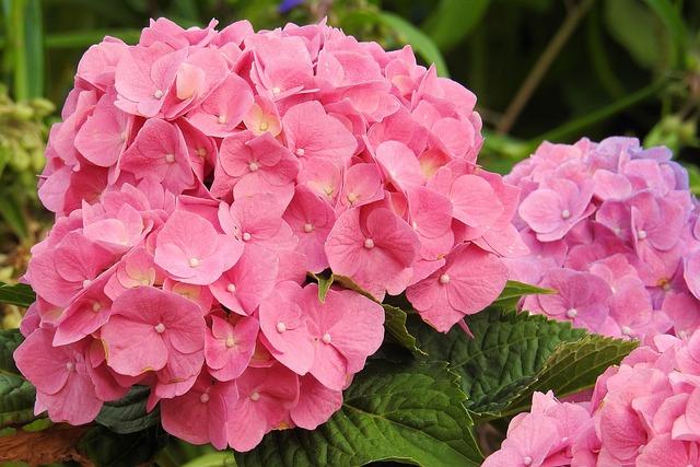 Hydrangeas, Flowers, Pink, Flower, Garden