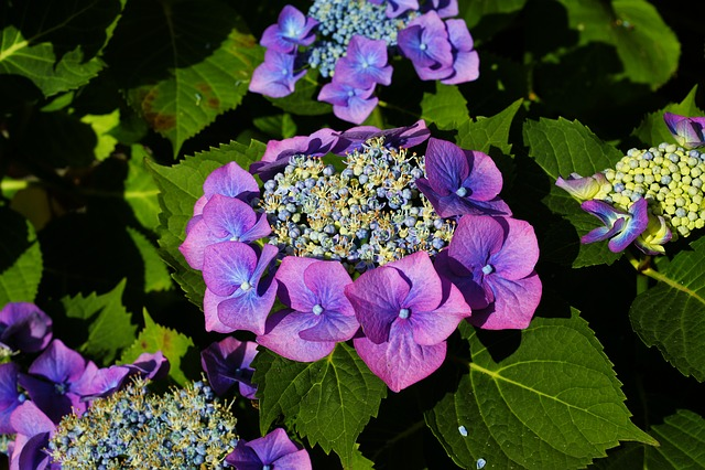 Hydrangeas, Flowers, Purple, Garden, Summer, Nature