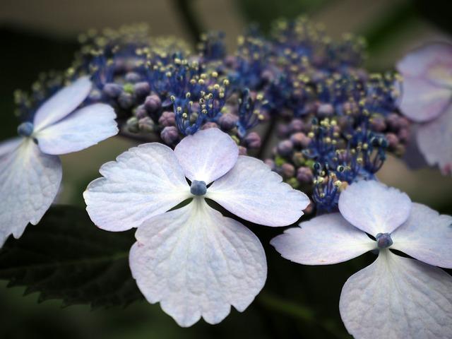 Hydrangea, Hydrangeas, Flowers, Plant, Blue