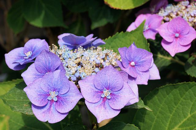 Hydrangeas, Flower, Blossom, Bloom, Nature, Garden