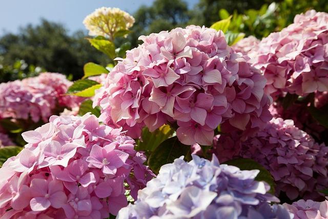 Hydrangeas, Flowers, Hydrangea, Genus, Hydrangea Plants