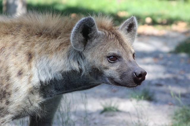 Hyena, Mammal, Fauna, Predator, Animal, Carnivore