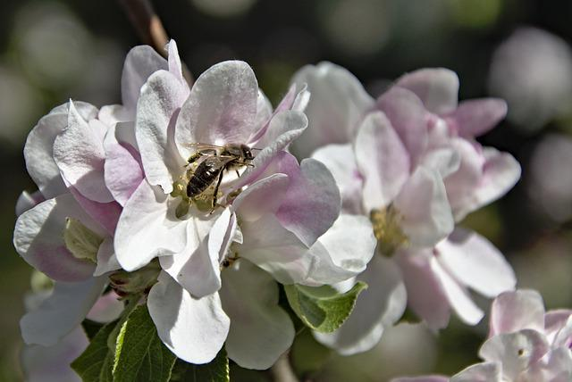 Honey Bee, Bee, Insect, Hymenoptera, Pollen, Nectar