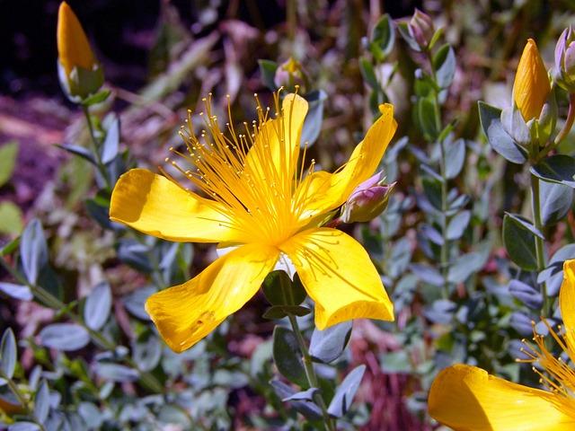 Wort, Hypericum Perforatum, Yellow, Blossom, Bloom