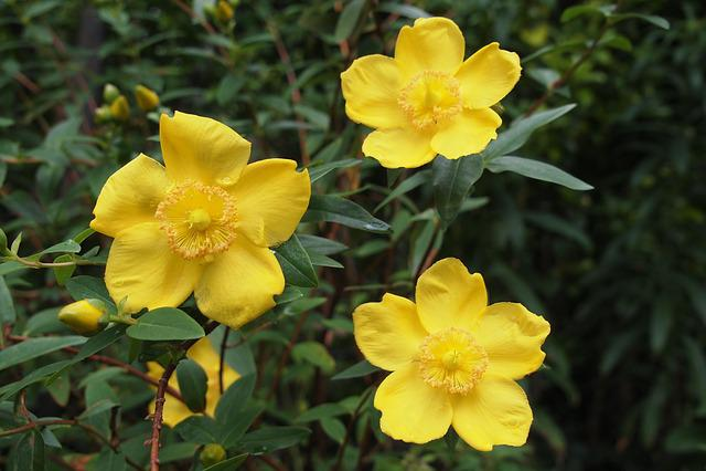 Hypericum, St John's Wort, Yellow, Flower, Herb