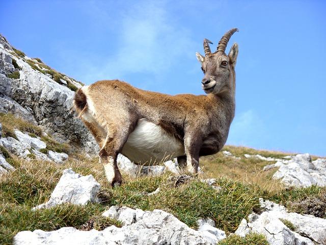 Goat, Mountain, Mountain Goat, Ibex, Alpine, Steinbock