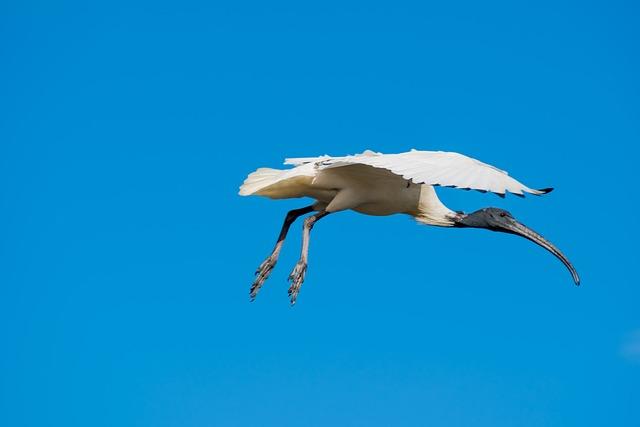 Ibis, Bird, Flying, Blue Sky