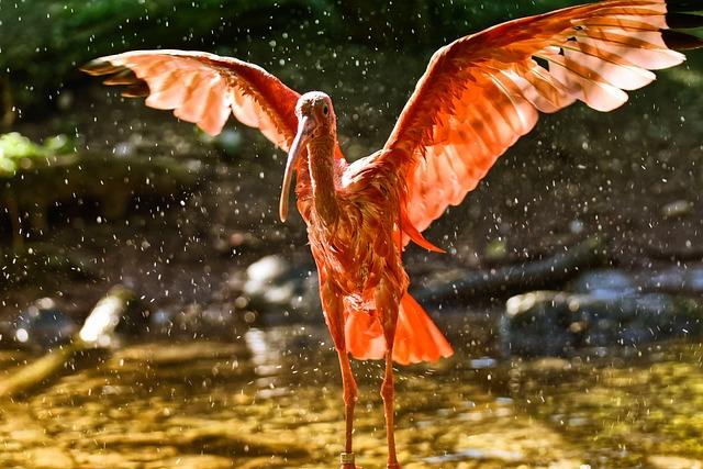 Ibis, Eudocimus Ruber, Wing Beat, Water, Spray