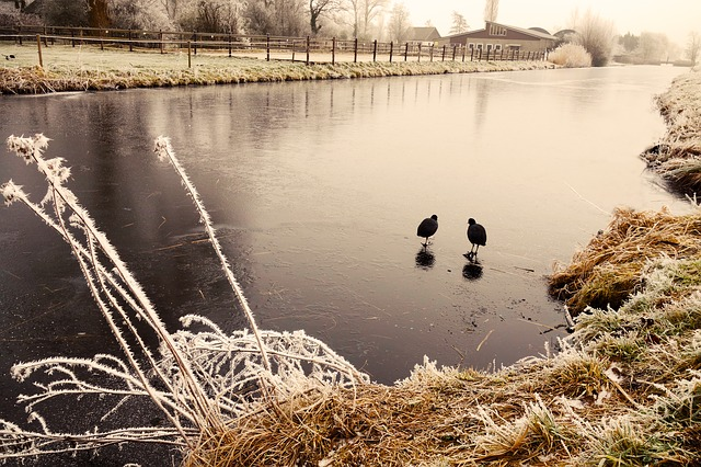 Coot, Bird, Water Bird, Ice, Frozen River, Hoar Frost