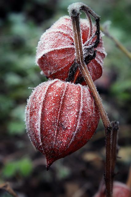 Lampionblume, Physalis, Ice, Crystals, November, Nature