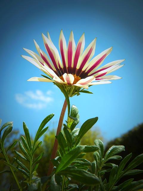 Ice Plant, Gazania, Gazanie, Composites, Blossom, Bloom