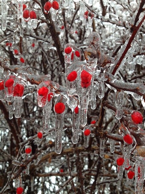 Berries, Ice, Winter, Buds, Red, Snow, Tree, Branches
