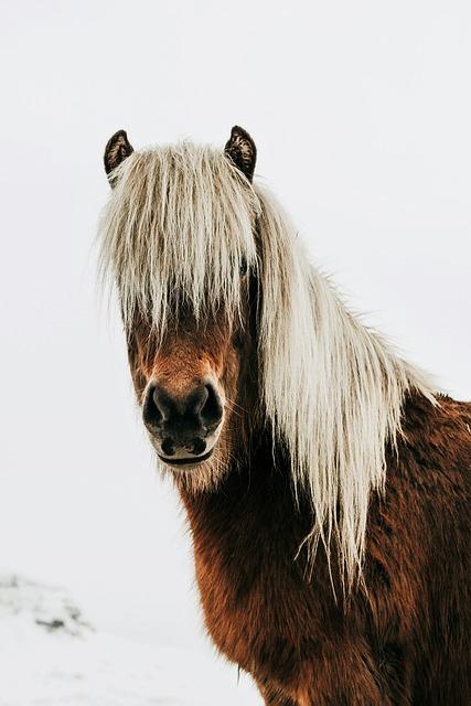 Horse, Wild, Iceland, Landscape, Animal, Closeup