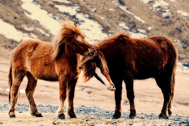 Pony, Ponies, Horses, Animals, Wild, Iceland, Landscape