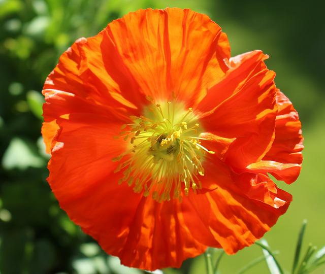 Poppy, Blossom, Bloom, Iceland Poppy, Orange