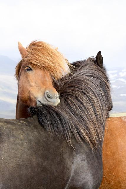 Horses, Icelanders, Iceland Horse, Wildlife Photography