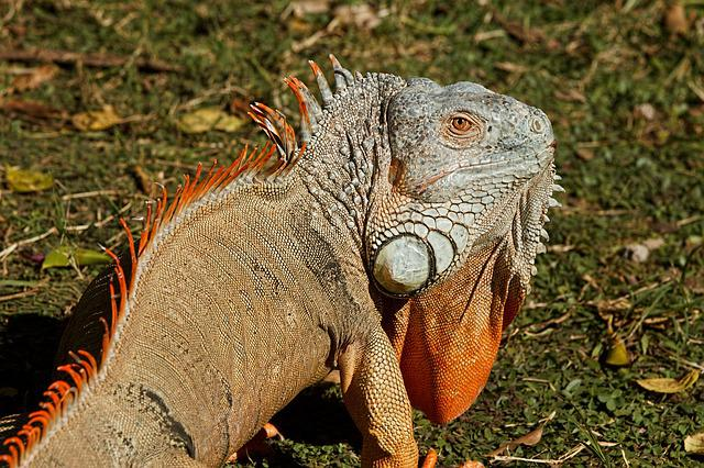 Iguana, Reptile, Lizard, Dragon, Animal