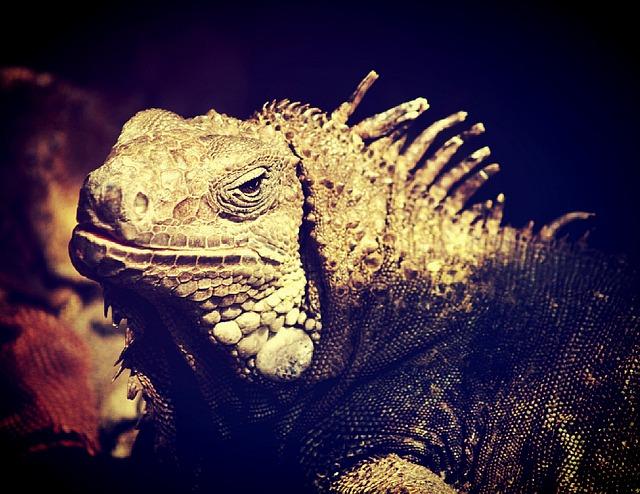 Iguana, Lizard, Dragon, Head, Animal, Side View
