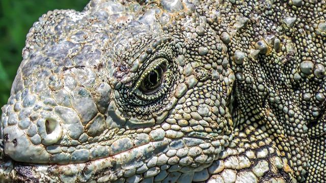 Iguana, Lizard, Reptile, Nature, Creature, Zoology