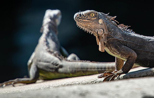 Iguanas, Reptiles, Lizard, Dragon, Animal, Scale