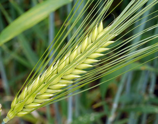 Barley, Ear, Awns, Immature, Green, Cereals