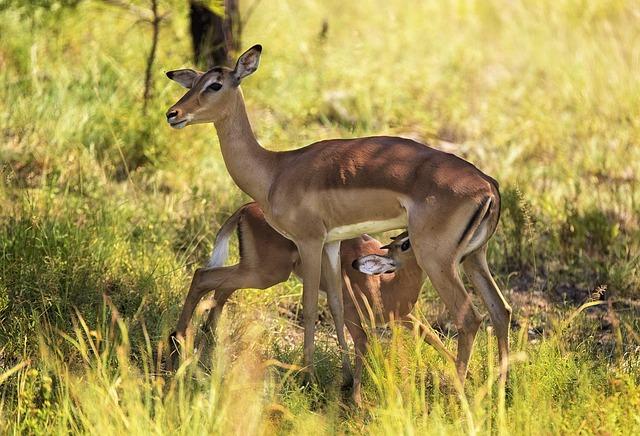Impala, Suckling, Wildlife, Antelope, Bonding, Africa
