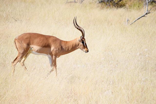 Impala, Antelope, Africa, Wildlife, Safari, Wild