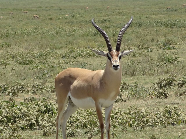 Impala, Gazelle, Plain