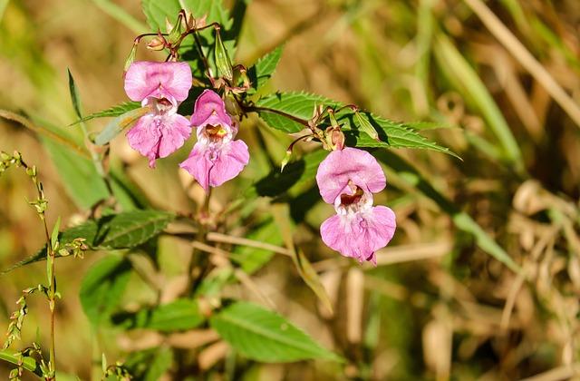 Balsam, Flower, Flowers, Pink, Impatiens Glandulifera