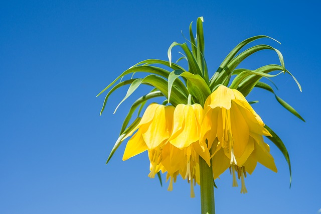 Imperial Crown, Fritillaria Imperialis, Nature, Leaf
