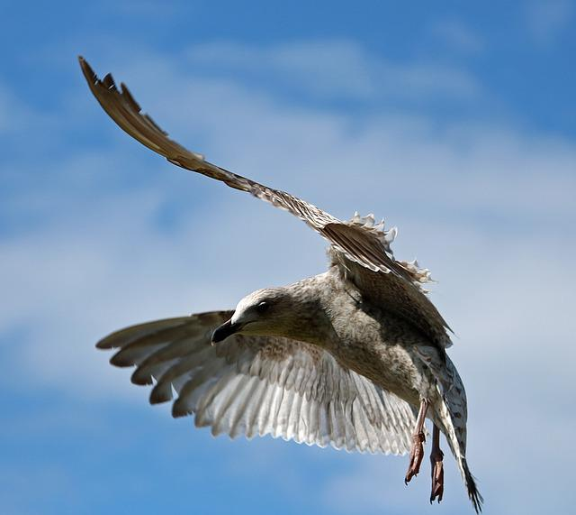 Seagull, Flying, Bird, In Flight, Herring Gull, Sky