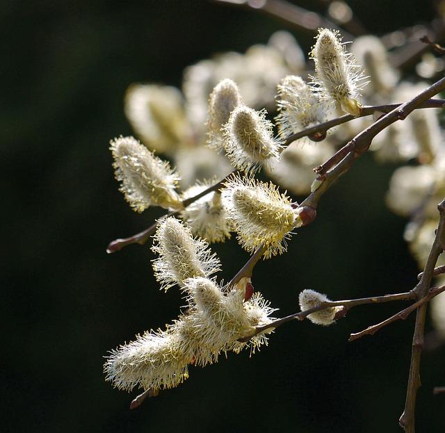 Willow Catkin, In Full Bloom, Stamens, Pasture