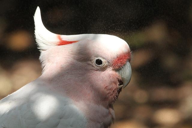 Inca Kakadu, Cacatua Leadbeateri, Cockatoo, Bird