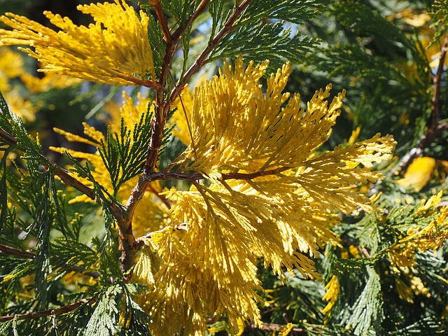 Incense Cedar, California Incense Cedar